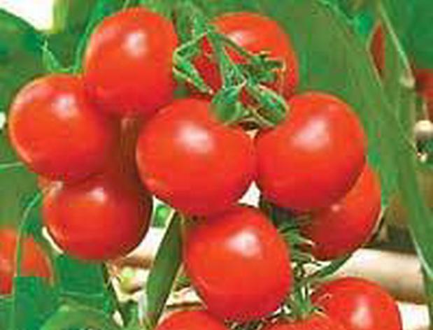 Сорт томата: Горожанин   f1