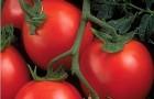 Сорт томата: Грандо f1