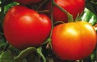 Сорт томата: Гравитет f1