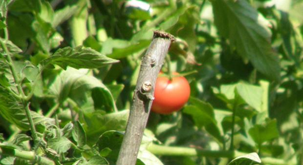 Сорт томата: Гретхен   f1