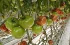 Сорт томата: Гродена f1