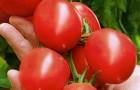 Сорт томата: Гроздевой f1