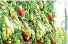 Сорт томата: Грушка консервная