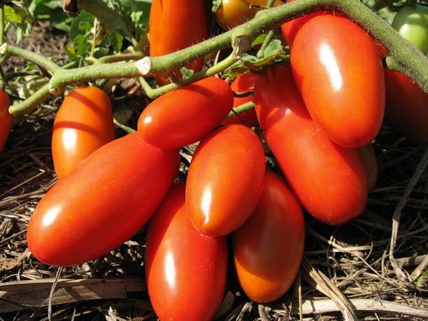 Сорт томата: Гулливер