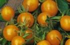 Сорт томата: Икра оранжевая