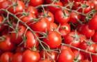Сорт томата: Илона f1