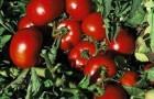 Сорт томата: Импала f1