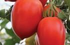 Сорт томата: Императрица f1