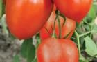 Сорт томата: Империя f1