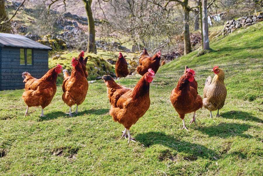 Инфекционные заболевания кур – Кандидамикоз
