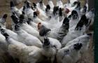 Инфекционные заболевания кур – Пуллороз