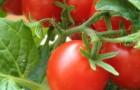 Сорт томата: Ингрит f1