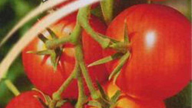 Сорт томата: Интуиция   f1
