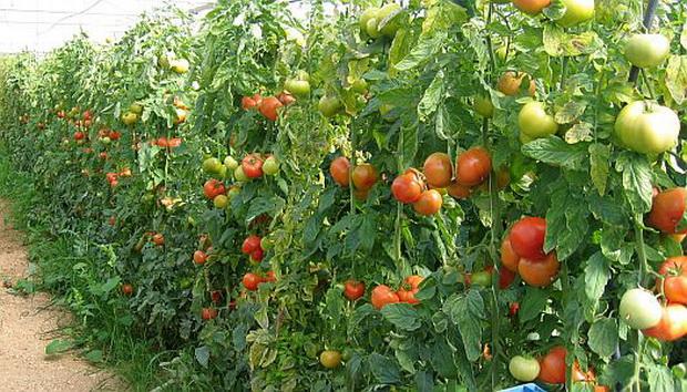 Сорт томата: Исфара   f1
