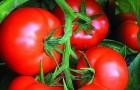 Сорт томата: Искандер f1