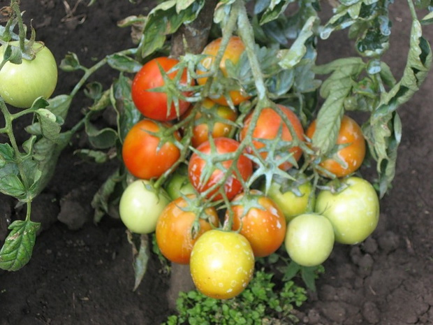 Сорт томата: Иван-царевич   f1