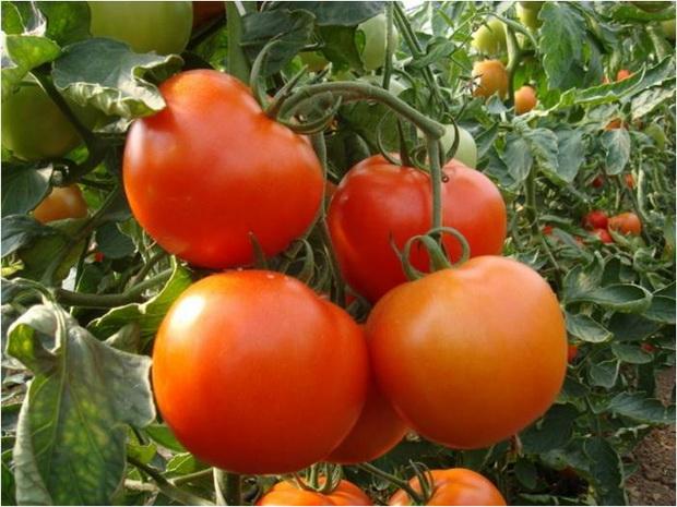 Сорт томата: Ивет   f1