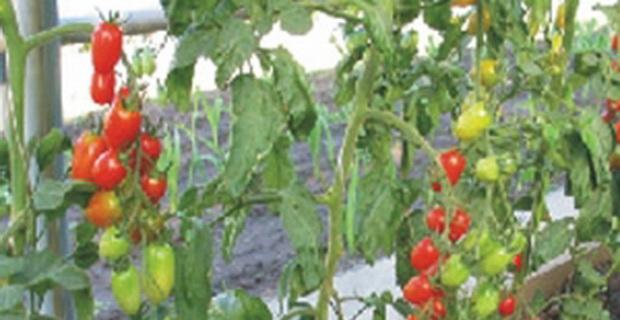 Сорт томата: Изюм   f1