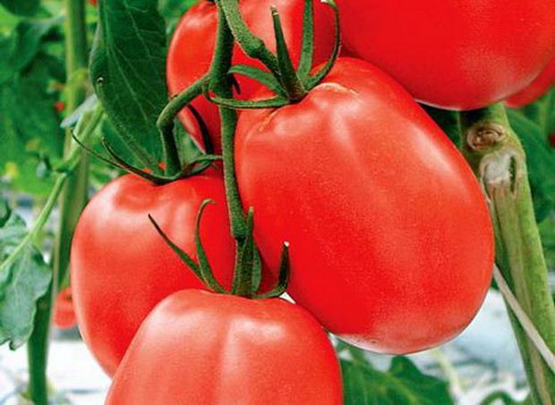 Сорт томата: Кадет
