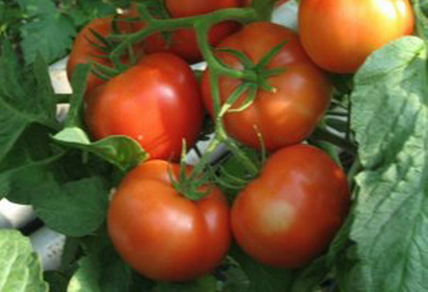 Сорт томата: Кадриль   f1