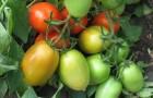 Сорт томата: Калрома f1