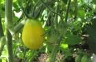 Сорт томата: Капля