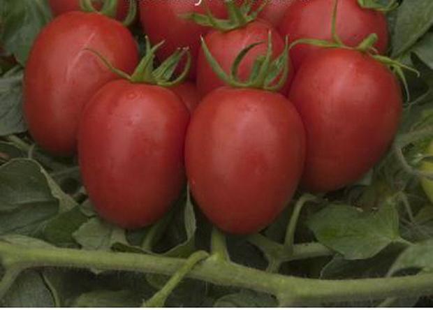 Сорт томата: Капорал   f1