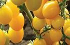 Сорт томата: Карамелька