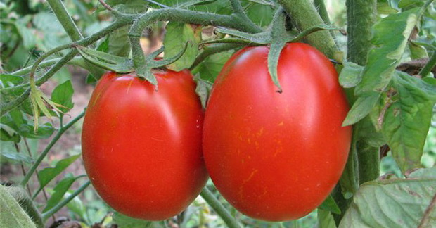 Сорт томата: Карина   f1