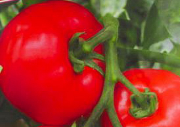 Сорт томата: Катюша   f1