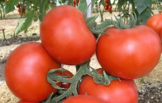 Сорт томата: Катя   f1