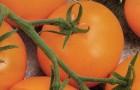 Сорт томата: Кавалер