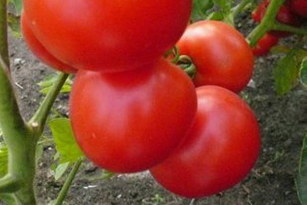 Сорт томата: Кавалькада   f1