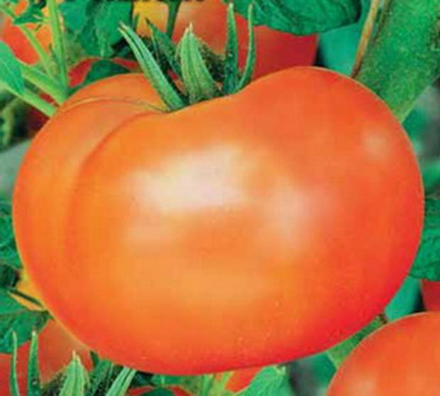 Сорт томата: Кениг   f1