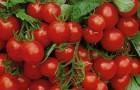 Сорт томата: Клюква в сахаре