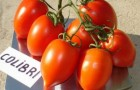 Сорт томата: Колибри