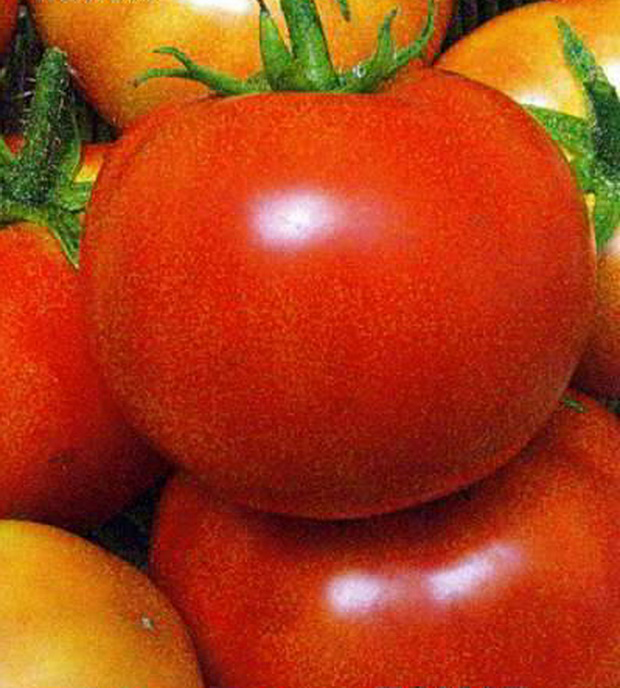 Сорт томата: Колобок
