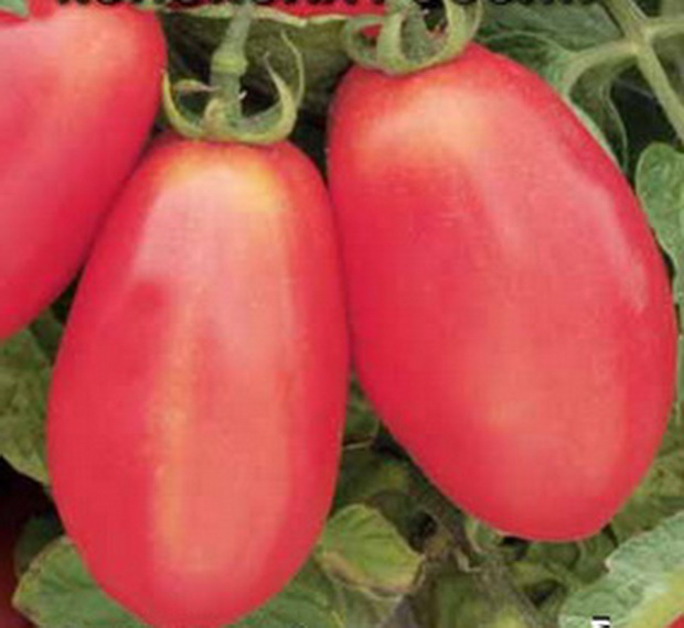 Сорт томата: Колокола россии