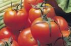 Сорт томата: Комбат