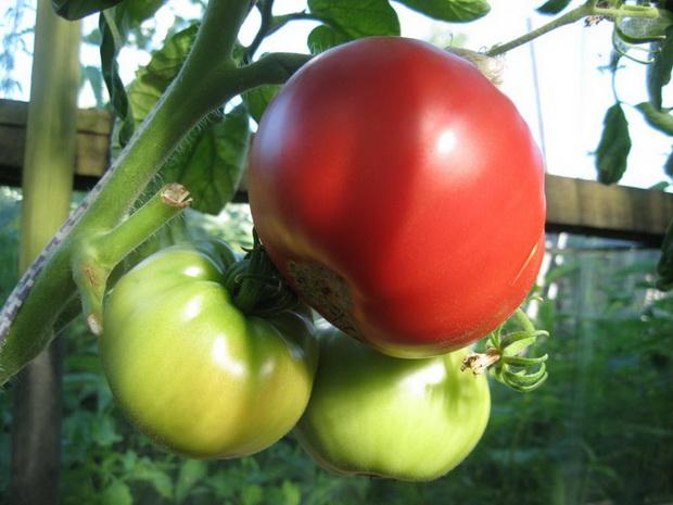 Сорт томата: Компак   f1