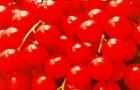 Сорт томата: Королева марго f1