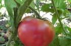 Сорт томата: Королевич