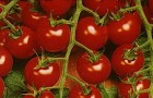 Сорт томата: Красная гроздь