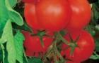 Сорт томата: Красная стрела плюс f1