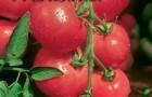 Сорт томата: Красотка f1