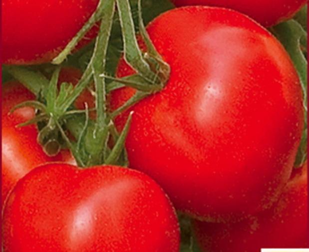 Сорт томата: Крепкий орешек   f1
