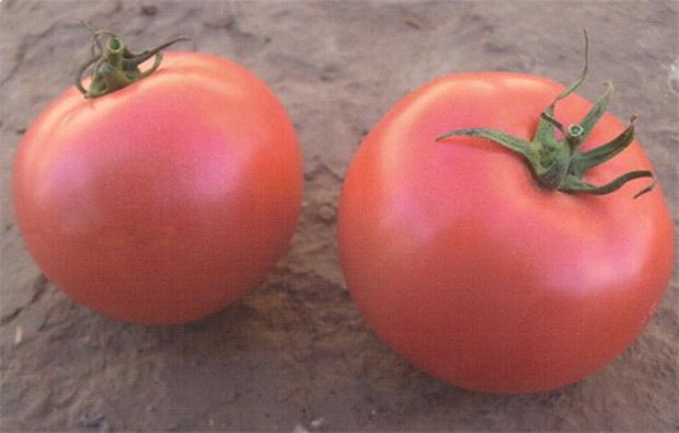 Сорт томата: Крепыш   f1