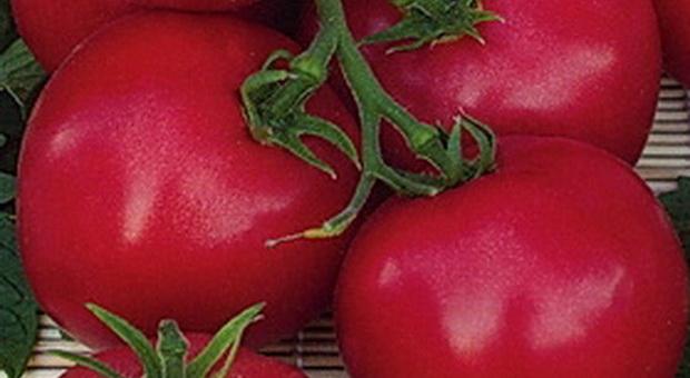 Сорт томата: Крошечка-хаврошечка   f1