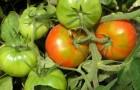 Сорт томата: Крылатый f1