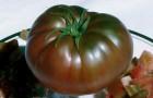 Сорт томата: Крымчанин f1